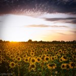 Sunflowers near the Camargue.